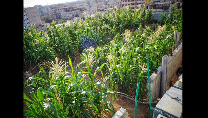مزروعات على سطح بيت في مدينة يلدا. المصدر: عدسة شاب يلداني