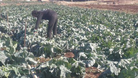 الزراعة في ريف إدلب.. معوقات ومصاعب