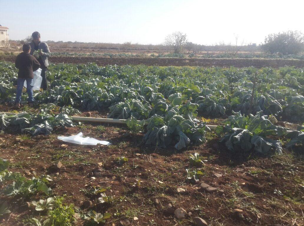 مزارع في أرضه الزراعية في كفر نبل. تصوير: هدى يحيى/28نوفمبر 2016/ خاص حكاية ما انحكت